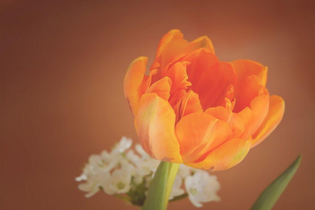 Wolna wysokiej rozdzielczości zdjęcia kwitnąć, roślina, fotografia, kwiat, płatek, kwiat, tulipan, Pomarańczowy, żółty, blisko, flora, ścieśniać, płatki, wiosenny kwiat, Fotografia makro, kwitnienia roślin, schnittblume, pomarańczowy tulipan, łodyga, roślina lądowa